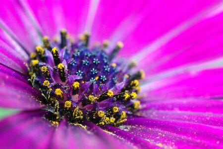 lila: Blüte pink mit Pollen