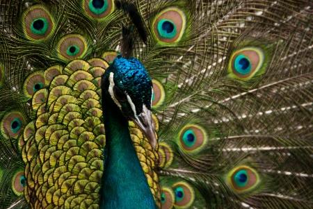 peacock wheel: peacock Stock Photo
