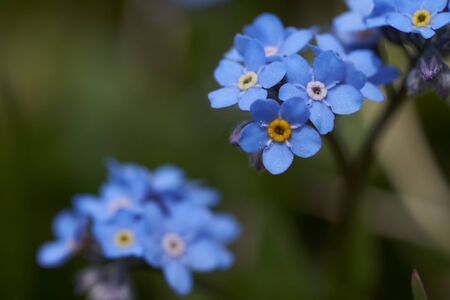 Myosotis Alps Switzerland family Boraginaceae forget me nots or scorpion grasses. High quality photo