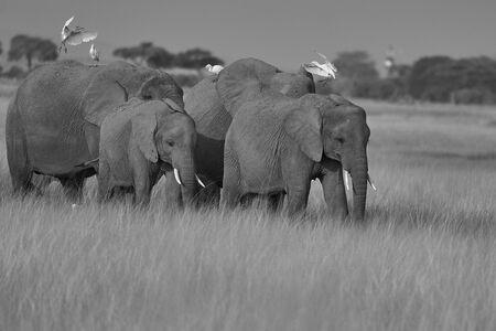 Elephant Group Amboseli - Big Five Safari -Herons African bush elephant Loxodonta africana