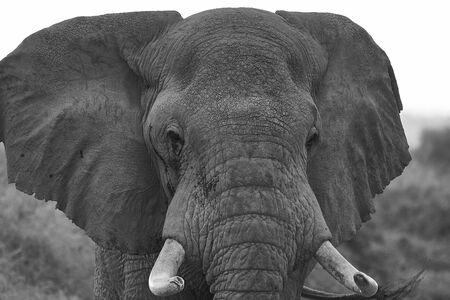 Elephant Big Huge Tusker Amboseli - Big Five Safari -Baby African bush elephant Loxodonta africana Black and white