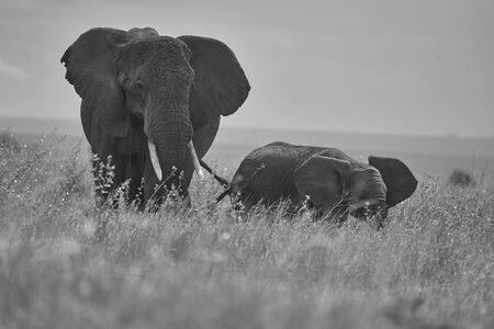 Elephant Baby Amboseli - Big Five Safari -Baby Black and White Savanna Gras African bush elephant Loxodonta africana Mother Love Standard-Bild