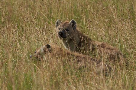 Spotted Hyaena Laughing Hyenas crocuta crocuta Safari Africa. High quality photo