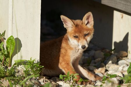 Red Fox Portrait Vulpes Vulpes in the Evening Sun. High quality photo Stock Photo