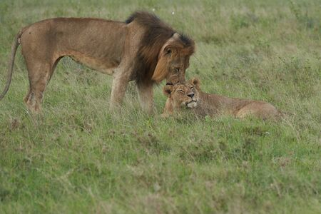 A Lioness and Lion in Kenya . High quality photo Africa Safari