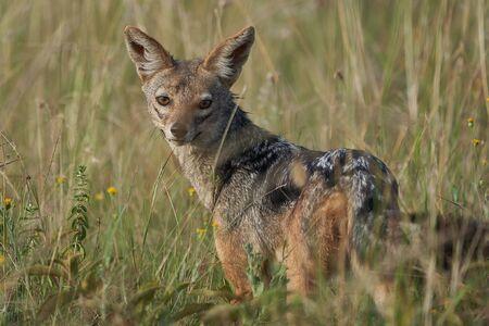 Golden Jackal Canis Aureus Safari Wild Portrait. High quality photo