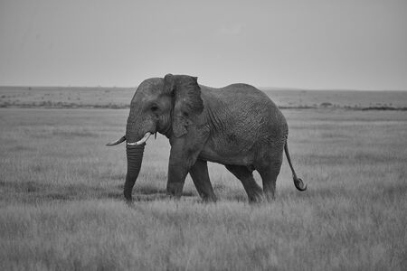 A big Elephant Tusker Amboseli - Big Five Safari -Savanna African bush elephant Loxodonta africana