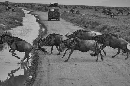Great Migration Serengeti Gnu Wildebeest Zebra Connochaetes taurinus. High quality photo