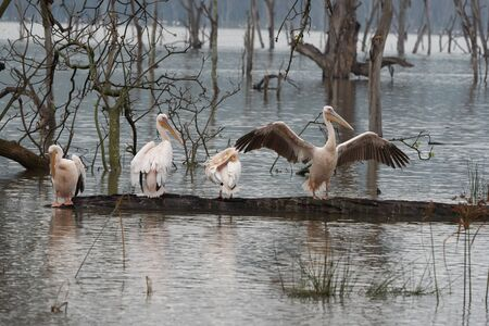 Great white pelican Pelecanus onocrotalus also known as eastern white pelican rosy pelican or white pelican Lake Africa. High quality photo