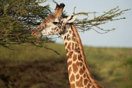 Giraffe Africa Giraffa Big Five Africa Standard-Bild