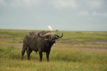 African Water buffalo Serengeti - Syncerus caffer Big Five