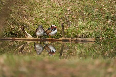 Mandarin duck Aix galericulata perching couple water reflection colours 版權商用圖片