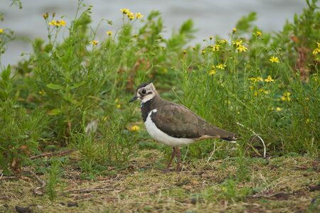 Northern lapwing Vanellus vanellus also known as peewit or pewit tuit or tew it green plover pyewipe or just lapwing 版權商用圖片