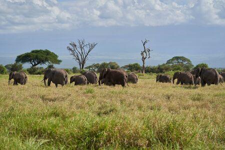 Elephant Group Amboseli - Big Five  -Kilimanjaro African bush elephant Loxodonta africana Stock Photo