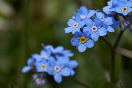 Myosotis Alps Switzerland family Boraginaceae forget me nots or scorpion grasses Stock Photo