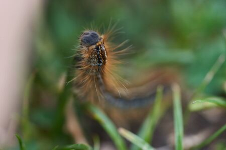 Malacosoma castrense castrensis ground lackey Lasiocampidae Macro Portrait