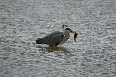 Grey heron Ardea cinerea long legged predatory wading bird heron fishing eating bird. High quality photo Фото со стока
