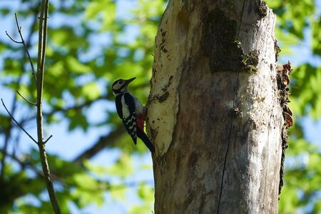 Great spotted woodpecker Dendrocopos major Switzerland infront of his home tree whole. High quality photo Banque d'images