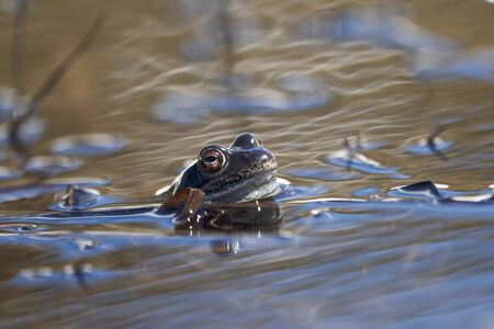 Water frog Pelophylax and Bufo Bufo in mountain lake with beautiful reflection of eyes. High quality photo Stock Photo