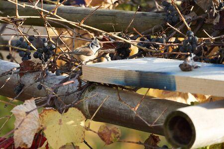 European crested tit Lophophanes cristatus Parus cristatus a passerine bird in the family Paridae 版權商用圖片