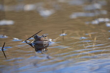 Water frog Pelophylax and Bufo Bufo in mountain lake with beautiful reflection of eyes. High quality photo Stok Fotoğraf