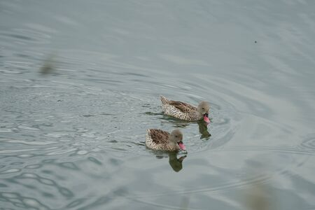Cape teal Anas capensis long dabbling duck offspring baby. High quality photo