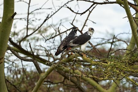 Augur buzzard Couple Buteo augurarge African bird of prey with catch eastern green mamba Dendroaspis angusticeps highly venomous snake . High quality photo