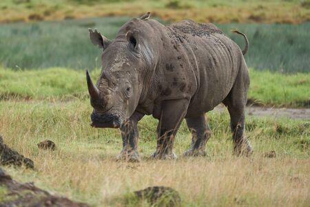 Rhino - Rhinoceros with Bird White rhinoceros Square-lipped rhinoceros Ceratotherium simum