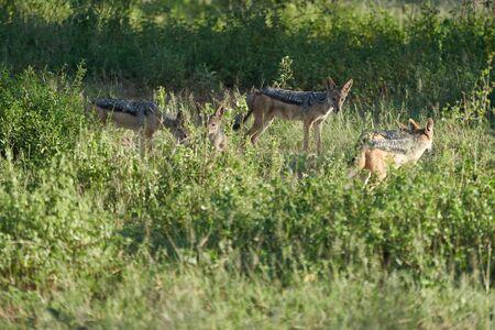 Golden Jackal Canis Aureus Safari Wild Portrait Foto de archivo - 150012667