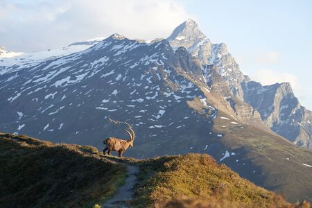 Capricorn Alpine Ibex Capra ibex Mountain Swiss Alps. High quality photo. Switzerland