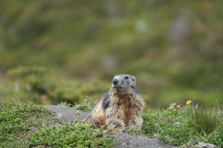 Alpine Marmot Marmota Marmota Switzerland Alps Mountains