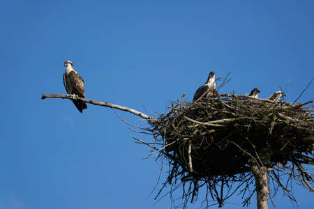 Osprey nest Osprey family of immature and adult individuals