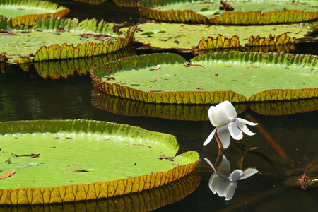 Victoria regia (water lily) in botanical garden photo