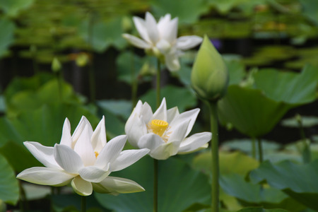 White lotus in the botanical garden in Pamplemousses, Mauritius