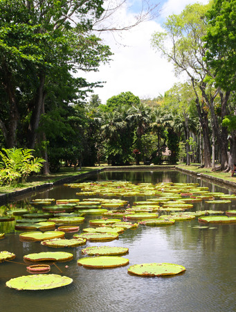 Victoria regia  water lily  in botanical garden, Mauritius photo