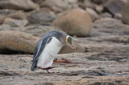 yellow eyed penguin: Very rare New Zealand Yellow-eyed penguin