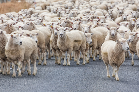 ewes: View of the Merino sheep in the road in New Zealand