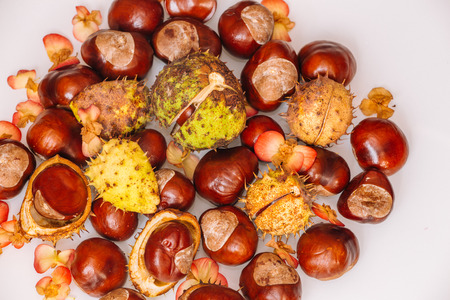 conker: Chestnuts in autumn
