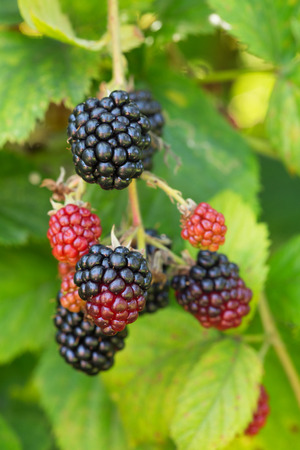 ripen on a bush in a blackberry orchard