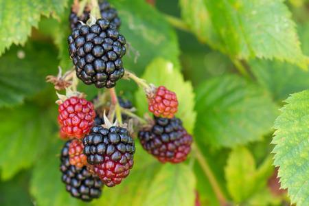 ripen on a bush in a blackberry orchard