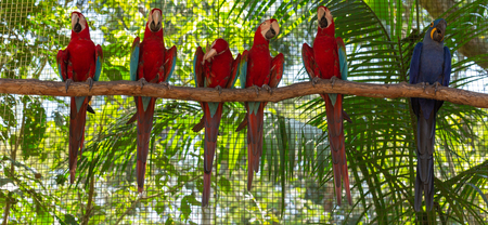 colorful macaw parrots in the aviary 스톡 콘텐츠