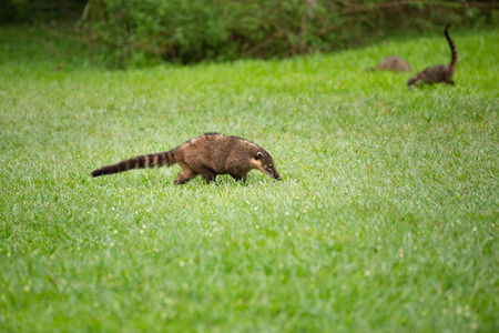 Nosy and happy coati Stock Photo