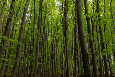 Prime beech forests in the Jasmund national park on the island of Rgen. germany
