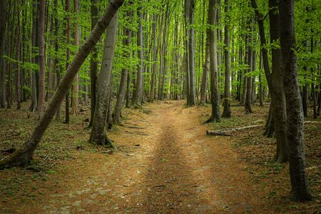 path through the beech forest, landscape of nature