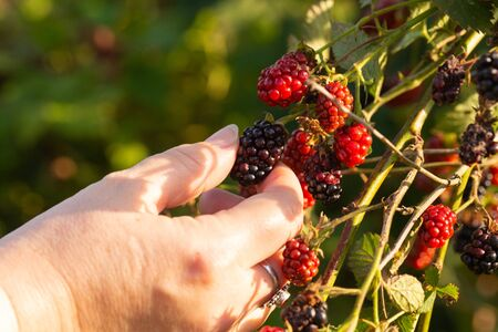 freshly picked from the bush blackberry held in a womans hand Zdjęcie Seryjne