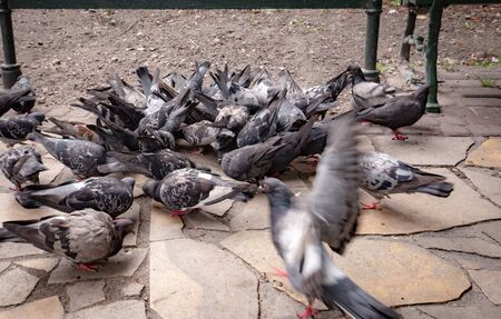 pigeons eating grains in a tourist town