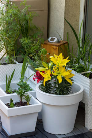 Blooming lilies on the balcony, Home garden