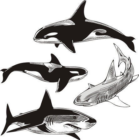 Sharks and killer whales. Set of black and white  illustrations. Vector