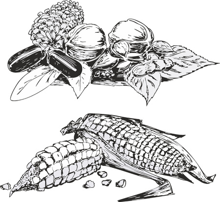 pine apple: Set of two black and white sketches of vegetables in still life style - corns, cabbages and aubergines