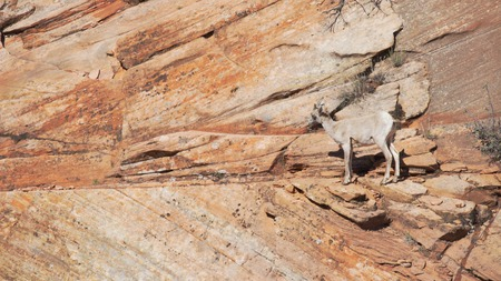 Lone mountain goat grazing on red sandstone cliff in Zion National Park Utah